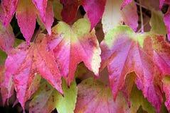 Parthenocissus tricuspidata, foliage. Close-up look at foliage of Parthenocissus tricuspidata Stock Photos
