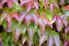 Parthenocissus tricuspidata, foliage. Close-up look at foliage of Parthenocissus tricuspidata Royalty Free Stock Photo