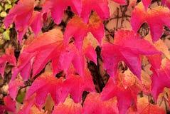 Parthenocissus tricuspidata, foliage. Close-up look at foliage of Parthenocissus tricuspidata Stock Photo