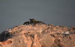 Close Up Look at an Ocean Crab in Aruba. Great look at an ocean crab on rocks in Aruba Stock Photography