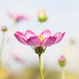 Close-up look of pink cosmos Royalty Free Stock Images