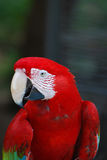 A Close Up Look at a Scarlet Macaw Bird Stock Photos