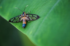 A close-up look of a tiger grass borer moth (wasp moth) on a leaf Stock Photos