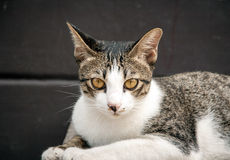 Close up looking face of stray cat in portrait Stock Images