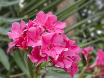 Close up looming beautiful pink oleander flowers Oleander Nerium on the green leaves background, selective focus royalty free stock photo