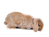Close-up on a Lop Rabbit i Royalty Free Stock Photo