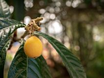 Close up a loquat on the branch royalty free stock photo