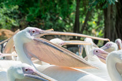 Close-up of a lot of big white pelican birds with open mouths. Standing in a pool in the zoo Royalty Free Stock Photo