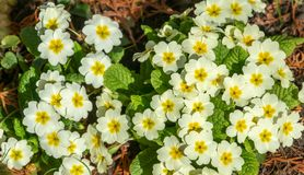 Close-up of lot white spring Common Primrose Primula acaulis or primula vulgaris flowers. Spring concept of waking nature. Selective focus royalty free stock photography