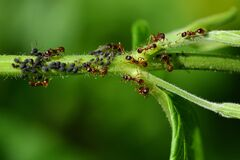 Close up of lots of black aphids hanging from a green stem, cared for by ants