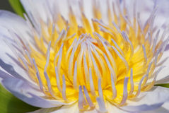 Close up of the lotus Royalty Free Stock Photos