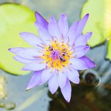 Close up lotus with bee in pond. Top view Stock Image