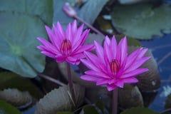 Free Close Up Lotus Blossom Royalty Free Stock Photo - 108893325
