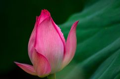 A close-up of a  lotus bud Royalty Free Stock Photos