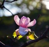 close up Lotus-florescido da flor da magnólia Imagens de Stock