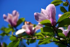 close up Lotus-florescido da flor da magnólia Fotografia de Stock Royalty Free
