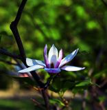 close up Lotus-florescido da flor da magnólia, bonito Fotos de Stock Royalty Free