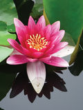 Close-up lotus flower. Blossom lotus flower in japanese pond Royalty Free Stock Photos