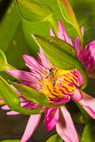 Close up of lotus flower Stock Images