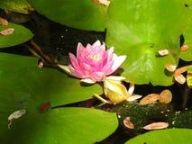 Close-up Lotus Flower foto de stock