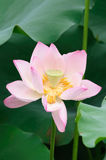 Close up lotus flower Royalty Free Stock Photo
