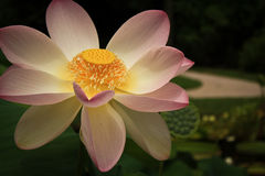 Close-up of lotus flower Stock Photo