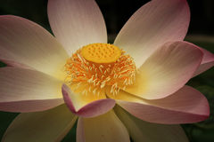 Close-up of lotus flower Royalty Free Stock Photo
