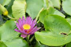 Close up lotus flower and lotus flower plants. Close up beautiful lotus flower and lotus flower plants Royalty Free Stock Image
