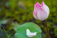 Close up lotus flower stock photography