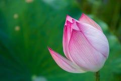 Close up lotus flower royalty free stock image