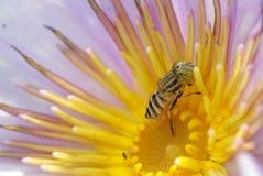 Close up lotus flower. Close up of yellow-violet lotus flower Royalty Free Stock Image