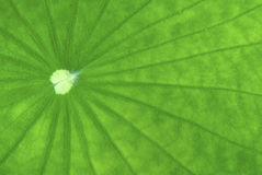 Close up of lotus leaf. Showing lines and textures Royalty Free Stock Image