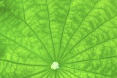 Close up of lotus leaf Royalty Free Stock Photos