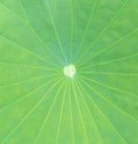 Close up lotus leaf Royalty Free Stock Photo