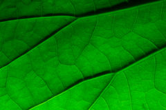 Close up lotus leaf texture Stock Photos