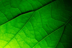 Close up lotus leaf texture Royalty Free Stock Images