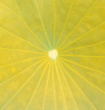 Close up lotus leaf Stock Photos