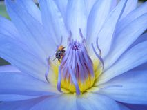 Close up of Lotus. With little bee Royalty Free Stock Photo