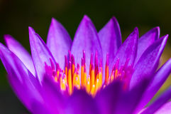 Close up lotus pollen Royalty Free Stock Photo