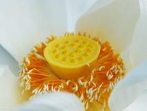 Close up lotus pollen Stock Photo