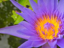 Close Up Lotus purple flower. Lotus purple flower floating in the pond Royalty Free Stock Photos