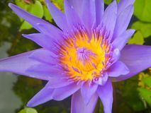 Close Up Lotus purple flower. Lotus purple flower floating in the pond Royalty Free Stock Photography