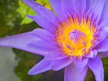 Close Up Lotus purple flower. Lotus purple flower floating in the pond Royalty Free Stock Photo