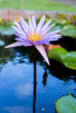 Close up lotus,water lily flower Stock Images