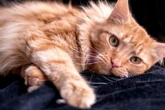 Close up of a lounging orange tabby cat stock images