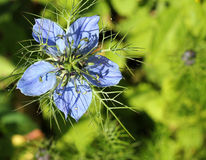Close up of Love in a mist. Nigella Damascena. Royalty Free Stock Images