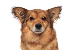 Close up of lovely brown furry dog with funny ears. On white background Royalty Free Stock Photos