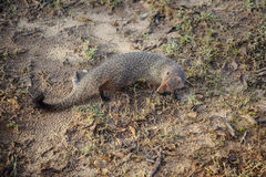 Close-up of a lovely Dwarf Mongoose Royalty Free Stock Images