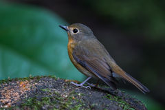 Close up of lovely Hill Blue Flycatcher Stock Photo