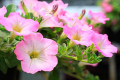 Close up lovely pink petunia flowers in green house plantation w Stock Photo